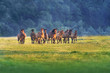 Horse herd run on summer pasture