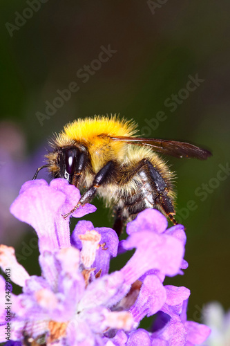 Bumble bee pollinating lavender flowers - 242995613