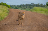 A sleek young male cheetah walks downs a sandy road in the African wilderness image with copy space