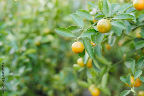 Kumquat - Fruits are often used for display during the Lunar New Year