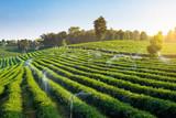 The green tea field agriculture in Chiangrai, Thailand. - 243007648