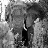 Close-up portrait of an african elephant. - 243009221