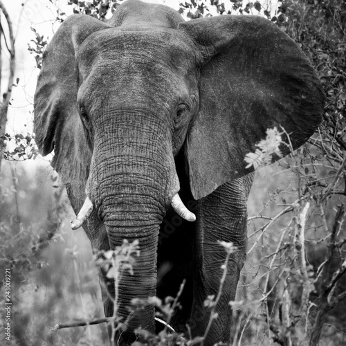 Close-up portrait of an african elephant.