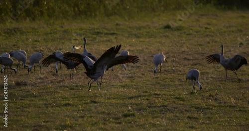 Obraz na płótnie common cranes in autumn - vorpommern, Germany