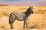 Fototapeta Fototapeta z zebrą - Zebra © Peter