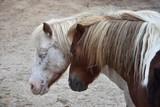 Portrait of two dozing ponies. - 243028250