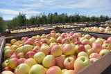 apple harvest - crates of fresh apples for transport and sale - 243032266