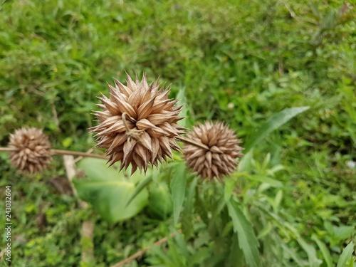 dandelion in grass - 243032604