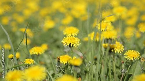 dandelion at spring day - 243034200