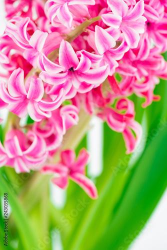 pink hyacinths on white background