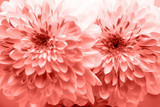 Dahlia living coral flowers close up for yellow background. - 243046685