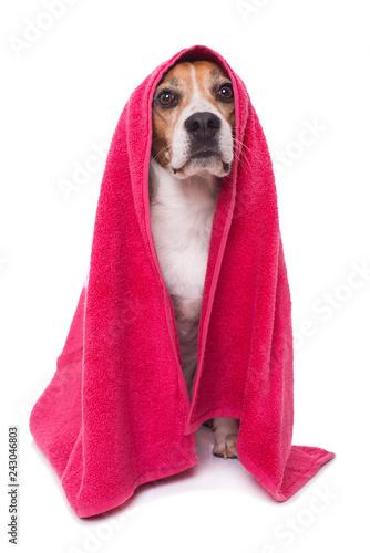 Beagle dog with towel isolated on white background