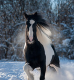 black and white paint irish cob or tinker runs free in winter meadow portrait - 243056602