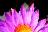 pink water lily with macro close up backgrounds texture