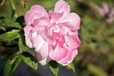 a lovely pink rose - 243078474