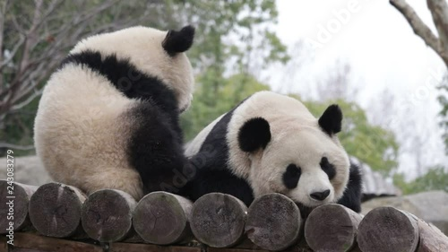 Panda Cubs are Playing with Fun