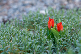 Two small red tulips growing in green field  - 243099654