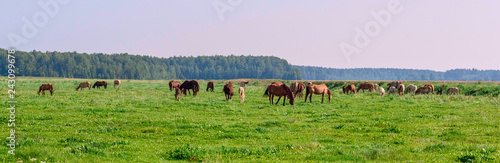 Horses on the field in the summer on a sunny day. - 243099678