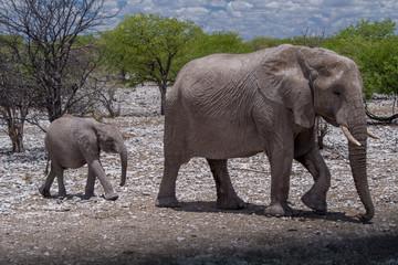 アフリカゾウ(ナミビア・エトーシャ国立公園)