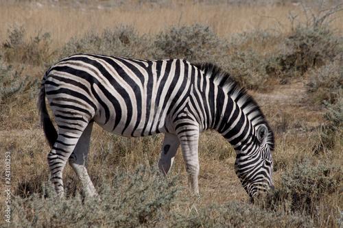シマウマ(ナミビア・エトーシャ国立公園) - 243108253