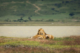 Group of lions in the grass relaxing in National Park of Ngorongoro, Tanzania - 243109603