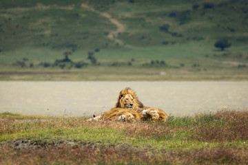 Group of lions in the grass relaxing in National Park of Ngorongoro, Tanzania