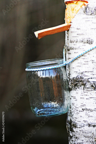Collecting birch SAP - 243109670