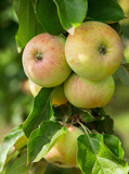 branch of ripe apples on a tree - 243112227