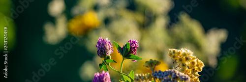 Leinwanddruck Bild Clover flowers in the evening in the meadow. Banner for design.