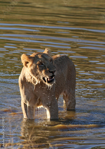 Poster Young lion devouring a piece of its prey in a pond
