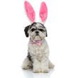 Leinwandbild Motiv stylish shih tzu with pink rabbit ears headband sitting