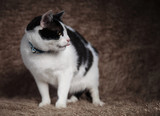 adorable cat wearing blue collar looks to side while panting
