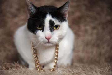 adorable black and white metis cat wearing golden collar