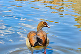 A duck swims in the water - 243131680