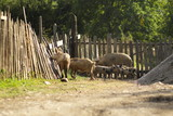 Farm pigs near fence are walking at village - 243132063