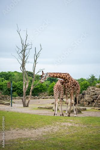 Poster giraffe in zoo