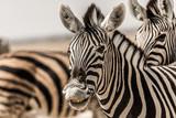 Fototapeta Fototapeta z zebrą - smiling zebra in etosha national park namibia © EnricoPescantini