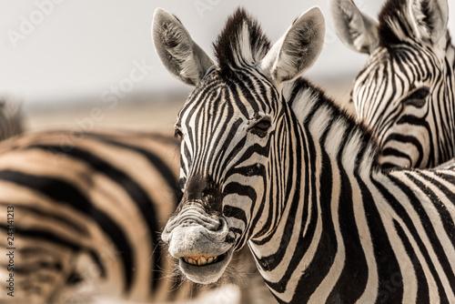 Poster smiling zebra in etosha national park namibia