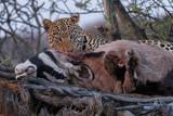 leopard eating oryx hunt