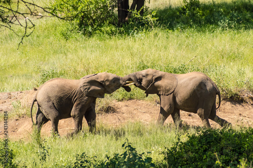 Two elephants playing with their horns face to face in Samburu Park