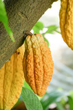 Cocoa tree with pods.Used as food and drink - 243151096