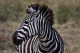 Fototapeta Fototapeta z zebrą - Zèbre de Tanzanie © Karine