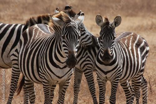 Zèbres de Tanzanie - 243155624