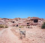 Mountain goat  in Petra mountains - 243163888