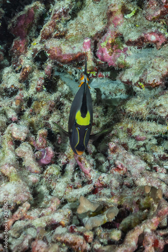 obraz lub plakat Tropical fish in coral reef