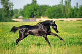 Playful black akhal teke horse happily runs over the field with yellow flower - 243189269