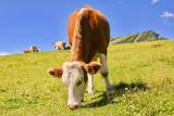 Kuh auf Weide Berg - 243189463