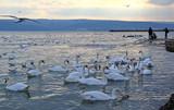 Лебеди и чайки в Чёрном море, Варна (Болгария)  - 243190202