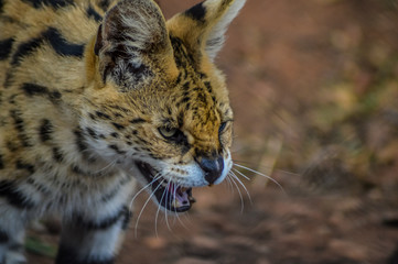 A cute and small Serval staring at us in a game reserve