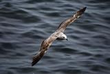 Seagull  in Romania, Constanta
